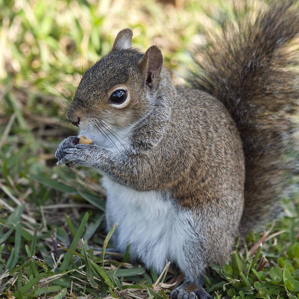 Squirrel Art Print featuring the photograph Eastern Gray Squirrel by Allan Hughes