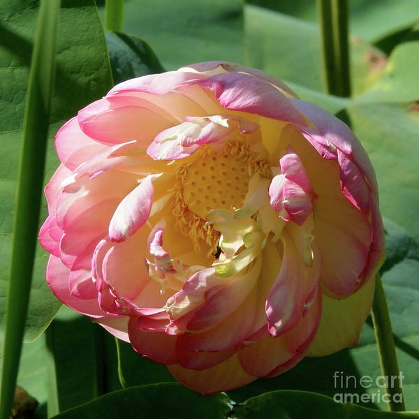 Aquatic Art Print featuring the photograph Lotus Blossom by Crystal Garner