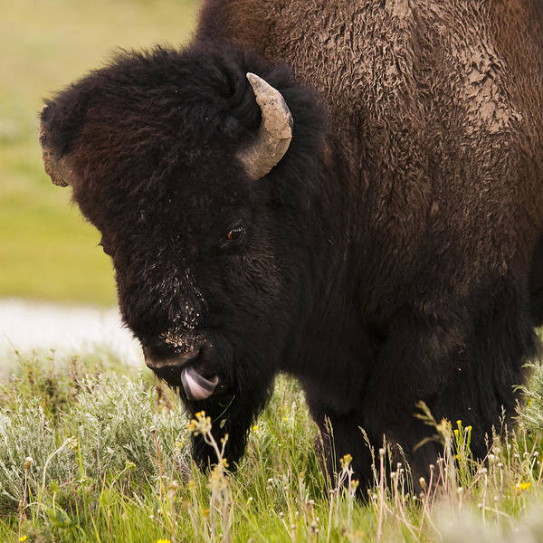 Bison Art Print featuring the photograph American Bison Tongue by Chad Davis