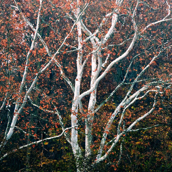 American Art Print featuring the photograph American Sycamore # 2 by Jacob Cane