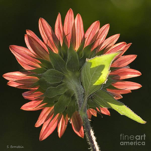 Sunflower Art Print featuring the photograph Backlit Sunflower by Sandra Bronstein