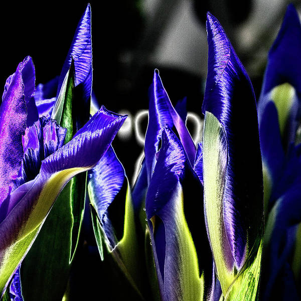Iris Art Print featuring the photograph Before The Bloom by David Patterson