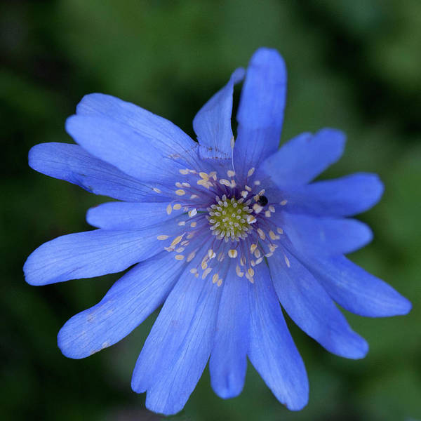 Flower Art Print featuring the photograph Blue Flower by David Hollingworth