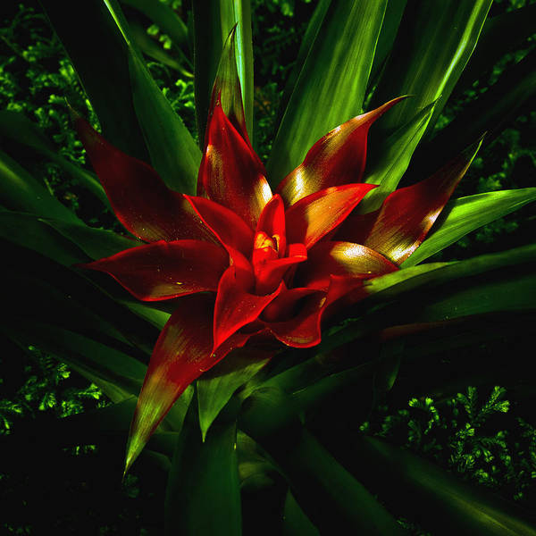 Bromeliad Art Print featuring the photograph Bromeliad by John Ater