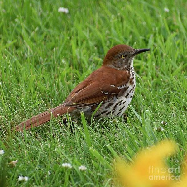 Brown Thrasher - First Sighting by Cindy Treger
