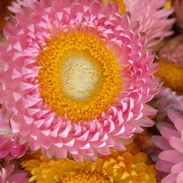 Flower Art Print featuring the photograph Carmel Flower by Sarah Madsen