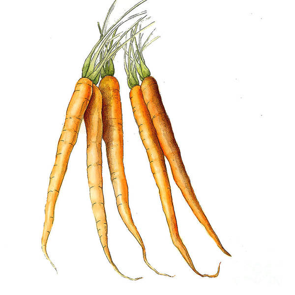 Graphic Art Print featuring the painting Carrot Variation by Fran Henig