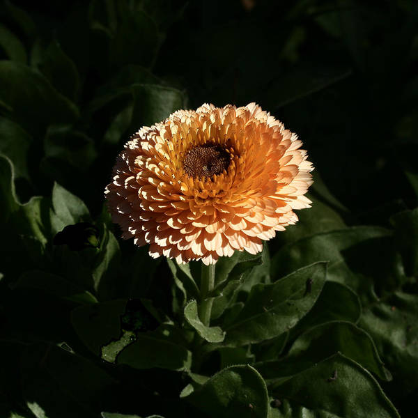 Botanical Art Print featuring the photograph Chrysanthemum Fire 09 by David Houston