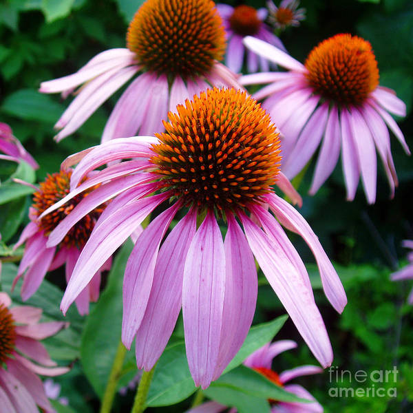 Coneflowers Art Print featuring the photograph Three Coneflowers by Nancy Mueller