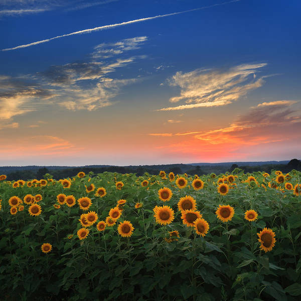 Square Art Print featuring the photograph Connecticut Sunflowers In The Evening by Bill Wakeley