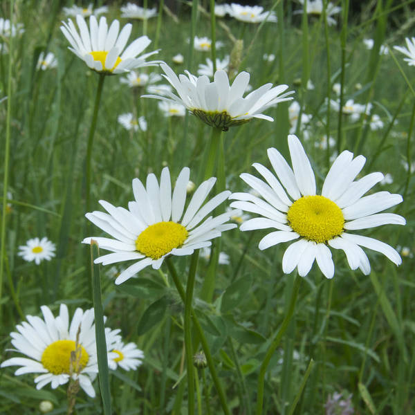 Flower Art Print featuring the photograph Daisies by Michael Peychich