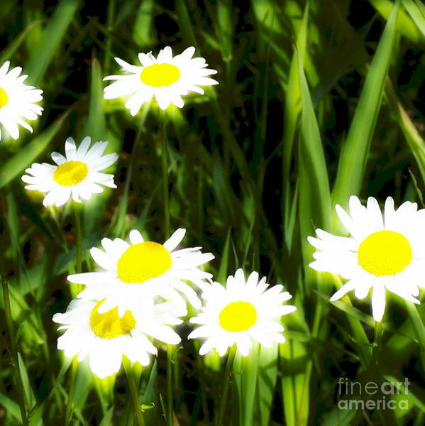 Daisies Art Print featuring the photograph Daisy Dream by Idaho Scenic Images Linda Lantzy