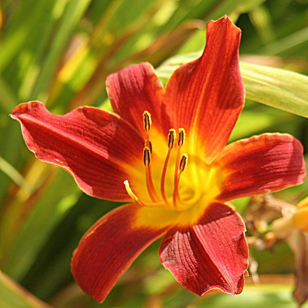 Flower Art Print featuring the photograph Daylily by Jean Macaluso