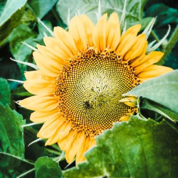 Sunflower Art Print featuring the photograph Garden Treasure by Jeff Klingler