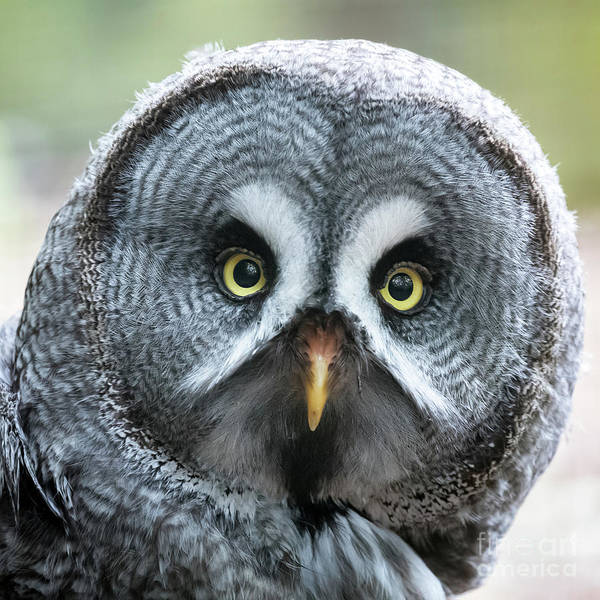 Owl Art Print featuring the photograph Great Grey Owl Closeup by Jane Rix
