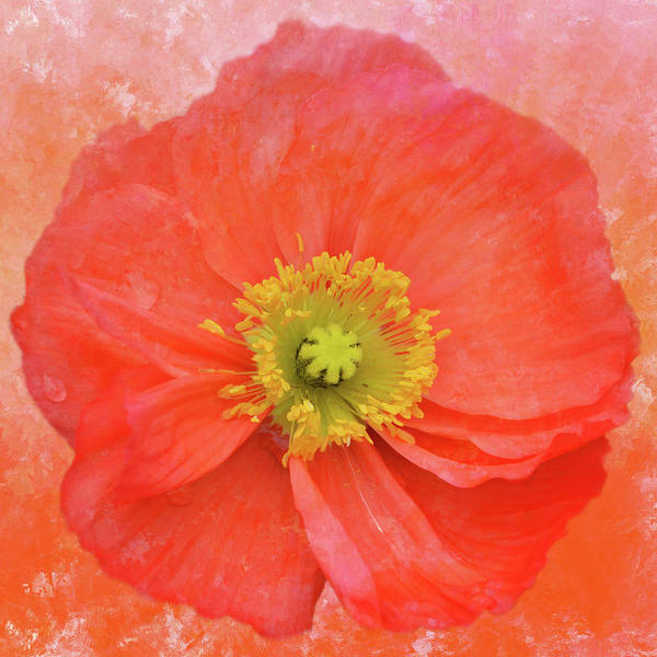 Island Poppy Art Print featuring the mixed media Iceland Poppy 3 by Isabela and Skender Cocoli
