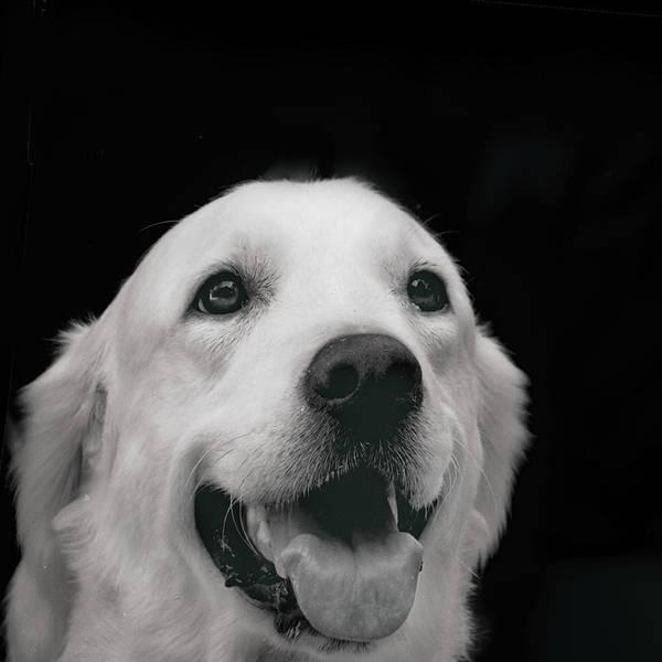Labrador Smiling B W  By Irina Safonova Dog Art Print featuring the photograph Labrador Smiling B W by Irina Safonova