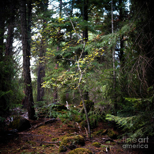 Landscape Art Print featuring the photograph Lone Dogwood by Norman Dean