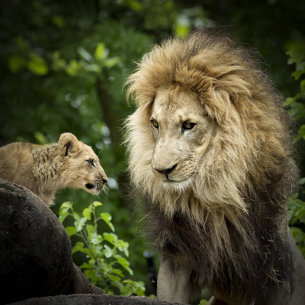 Africa Art Print featuring the photograph Male Lion And Cub by Linda D Lester