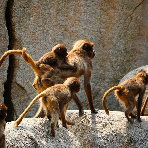 Animal Art Print featuring the photograph Monkey Family by Dennis Maier