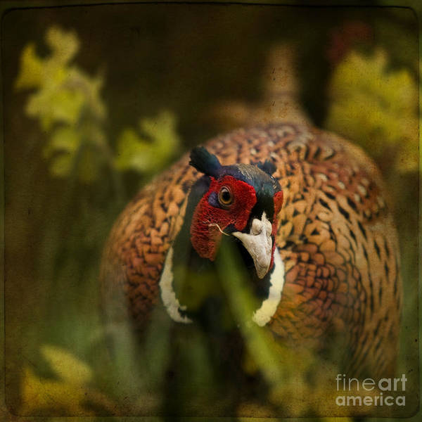 Pheasant Art Print featuring the photograph Mr Spring by Angel Ciesniarska