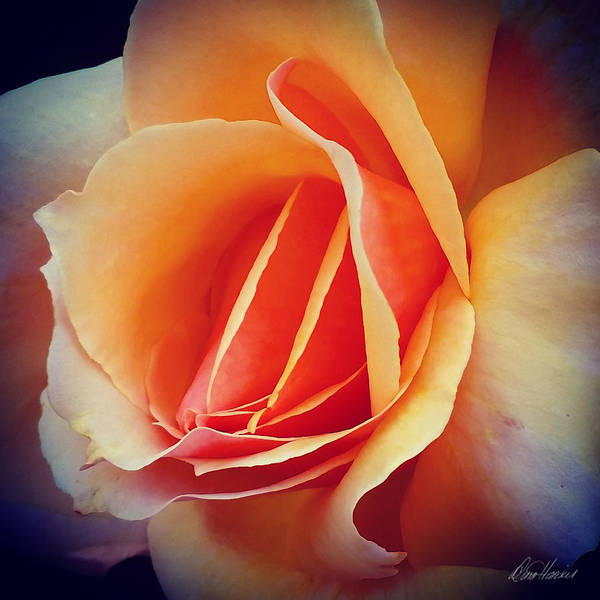 Peach Art Print featuring the photograph Peach Rose by Diana Haronis