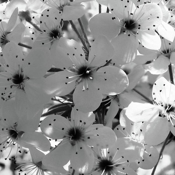 B & W Flowers Art Print featuring the photograph Pear Tree Blossoms by Tony Grider