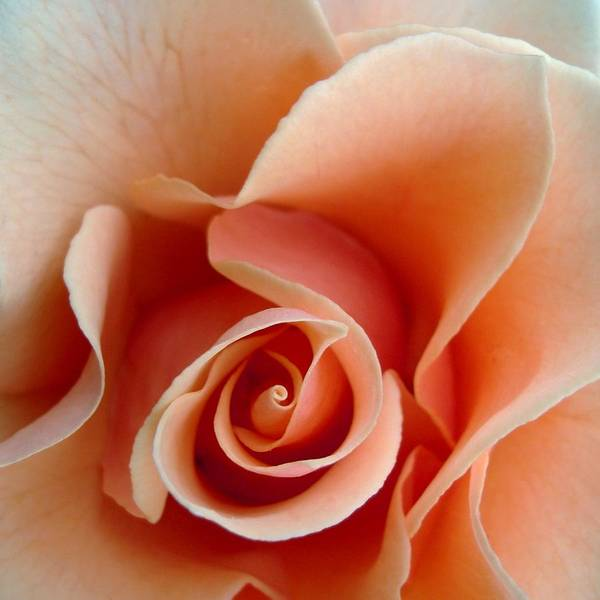 Rose Art Print featuring the photograph Petal Of Rose by Jacqueline Migell