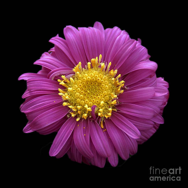 Flowers Art Print featuring the photograph Pink Dahlia On Black Velvet by Neil Doren