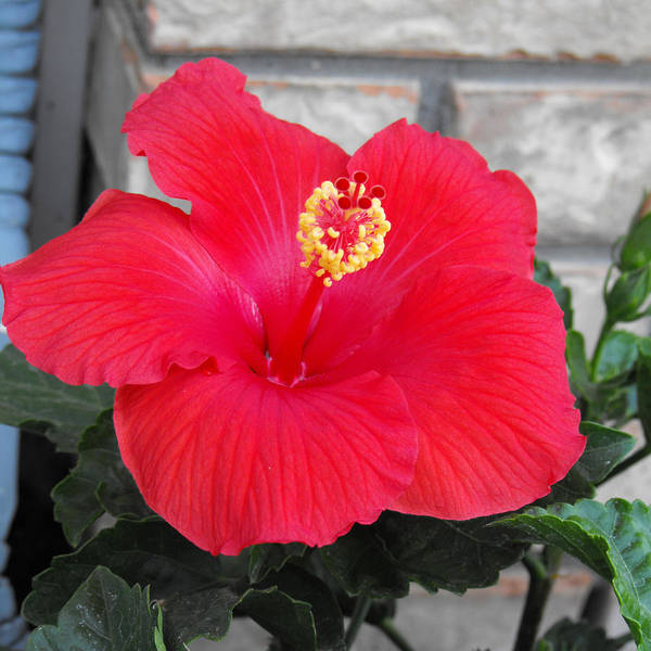 Photography Art Print featuring the photograph Red Hibiscus by Ruth Palmer