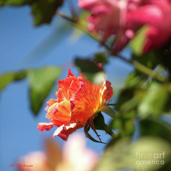Rose Art Print featuring the photograph Rose 06 by Arik Baltinester