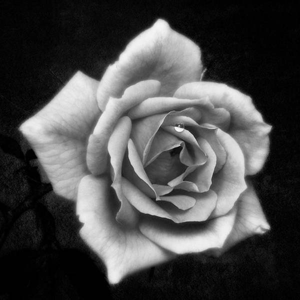 Beautiful Art Print featuring the photograph Rose In Mono. #flower #flowers by John Edwards