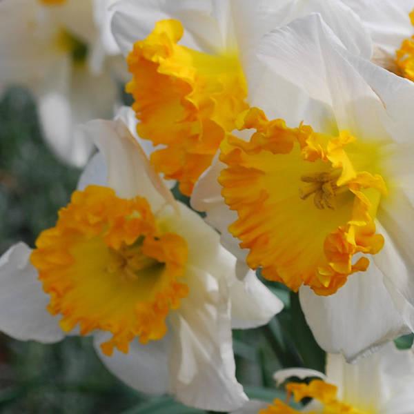 Daffodils Art Print featuring the photograph Spring Daffodils by Linda Sramek