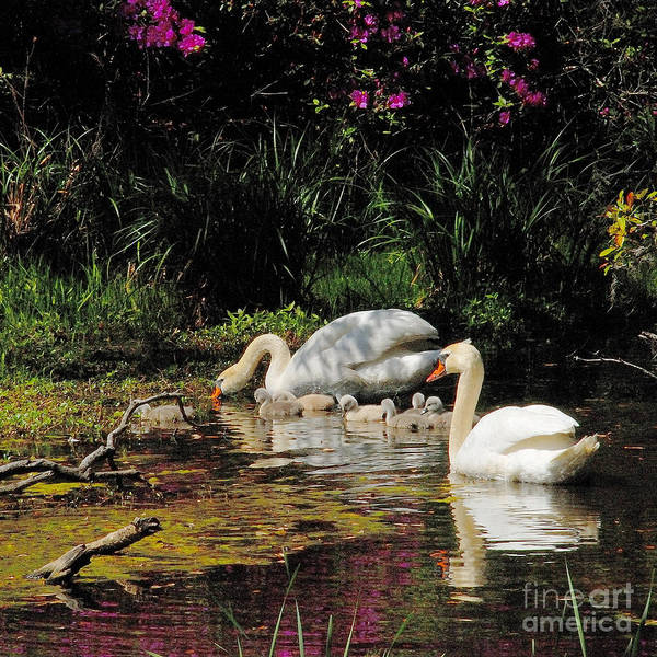 Swans Art Print featuring the photograph Swans And Signets by Neil Doren