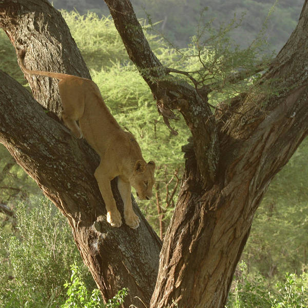 Tree Art Print featuring the photograph Terengeti Lioness by Joseph G Holland