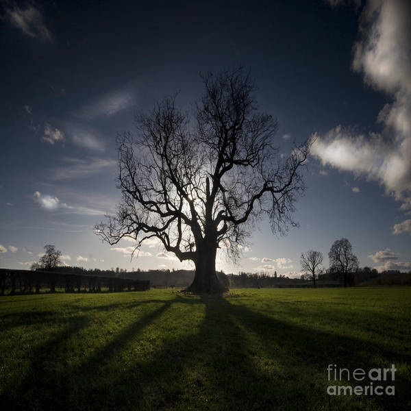 Oak Art Print featuring the photograph The Lonely Tree by Angel Ciesniarska
