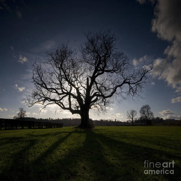 Oak Art Print featuring the photograph The Mighty Tree by Angel Ciesniarska