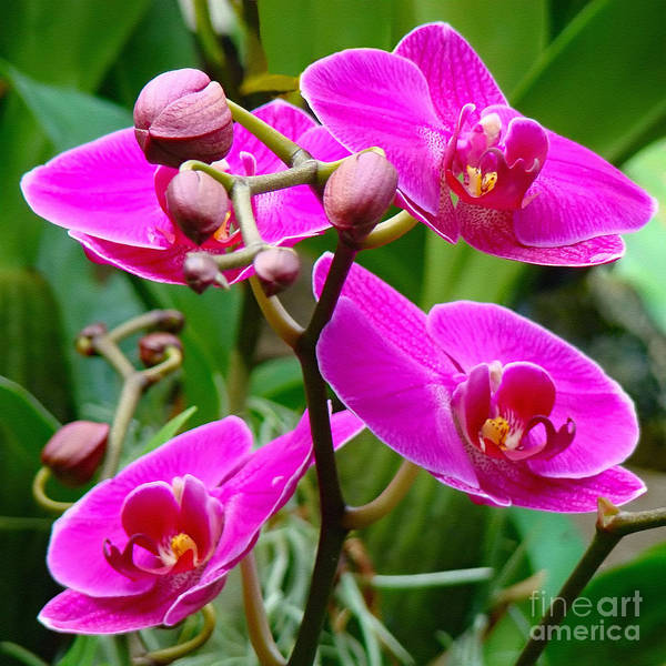 Orchid Art Print featuring the photograph The Orchid Dance by Sue Melvin