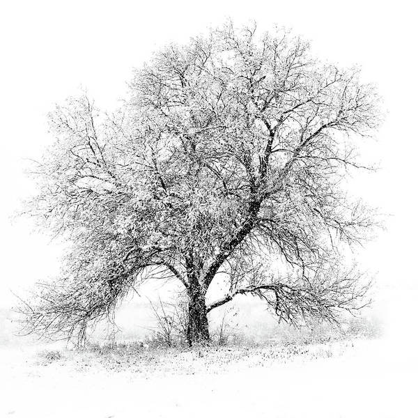 Square Art Print featuring the photograph Willow And Blizzard by Altus Photo Design