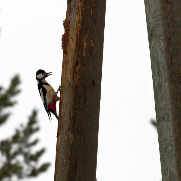 Lehtokukka Art Print featuring the photograph Woodpecker Workshop by Jouko Lehto
