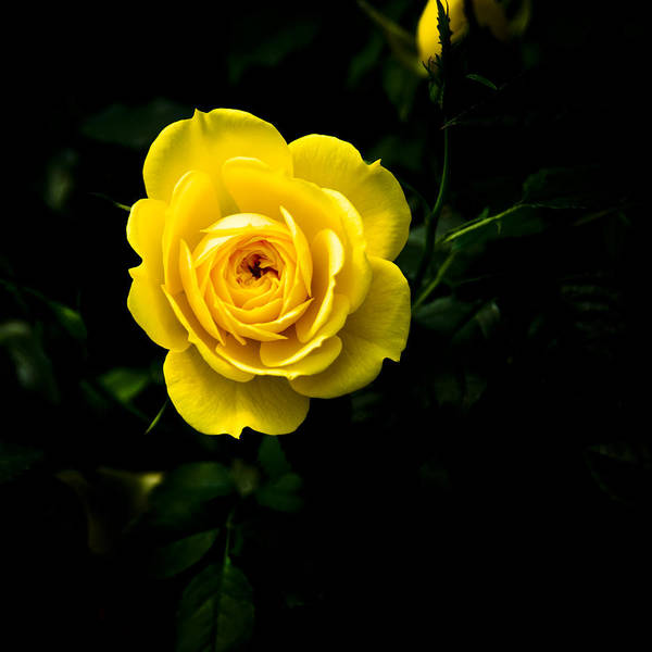 Floral Art Print featuring the photograph Yellow Rose by John Ater