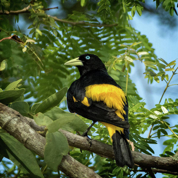 Yellow Art Print featuring the photograph Yellow Rumped Cacique by Steven Upton