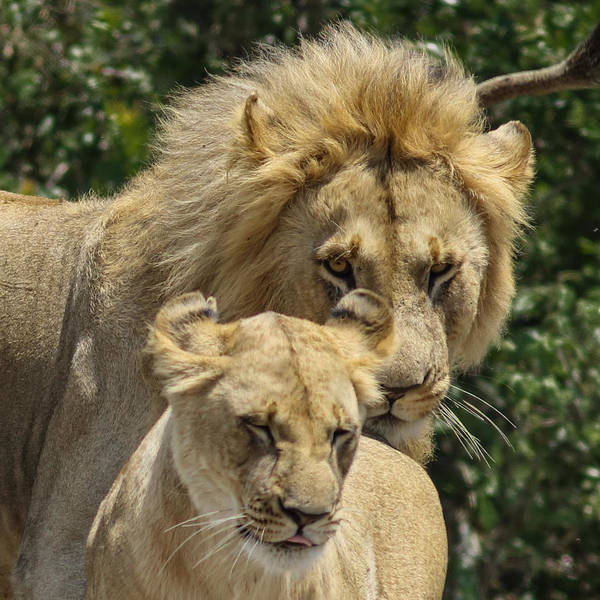 Lion Art Print featuring the photograph You Are Mine by Ramabhadran Thirupattur