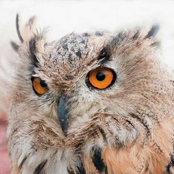 Alertness Art Print featuring the photograph Eagle Owl by Tony Emmett