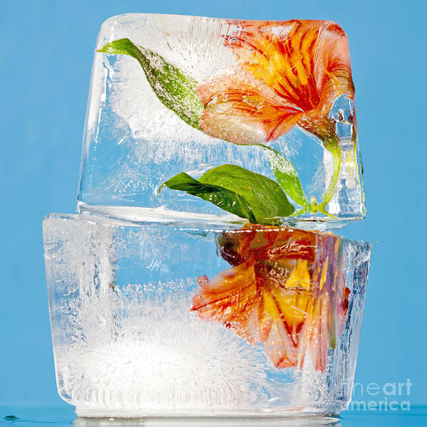 Translucent Art Print featuring the photograph Flowers Trapped In A Block Of Ice by Tim Masters