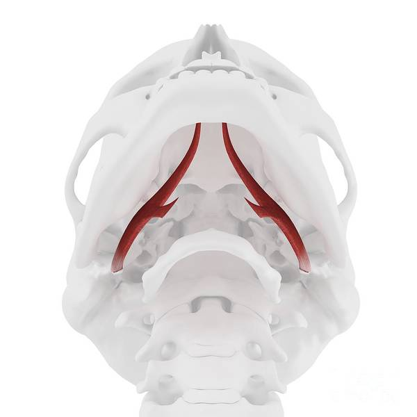 3d Art Print featuring the photograph Styloglossus Muscle by Sebastian Kaulitzki/science Photo Library