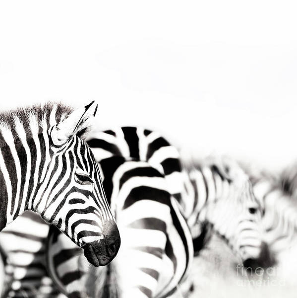 Portrait Art Print featuring the photograph Zebras Black And White by Jane Rix