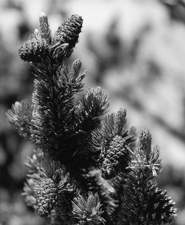 Nature Art Print featuring the photograph Conifer by Allan McConnell
