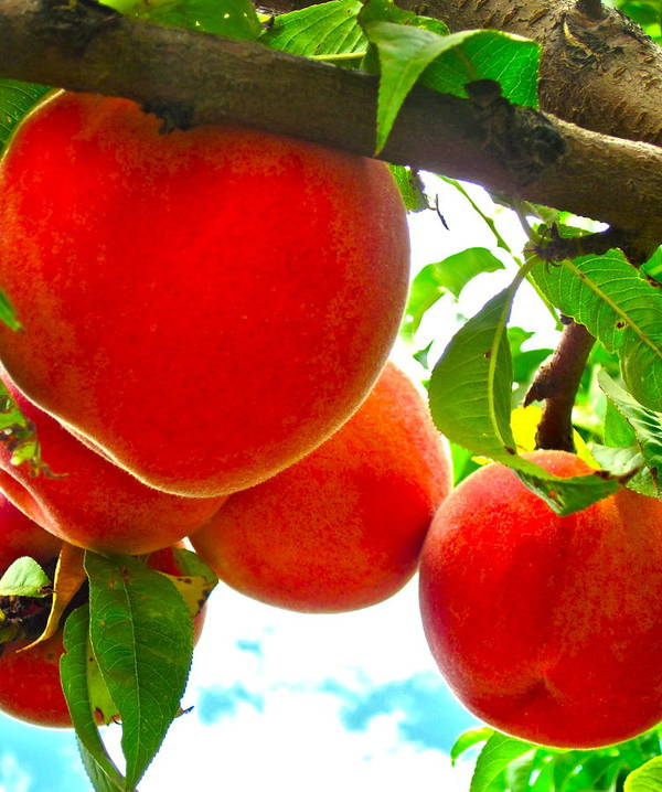 Photograph Of Peaches Art Print featuring the photograph Ready To Pick by Gwyn Newcombe