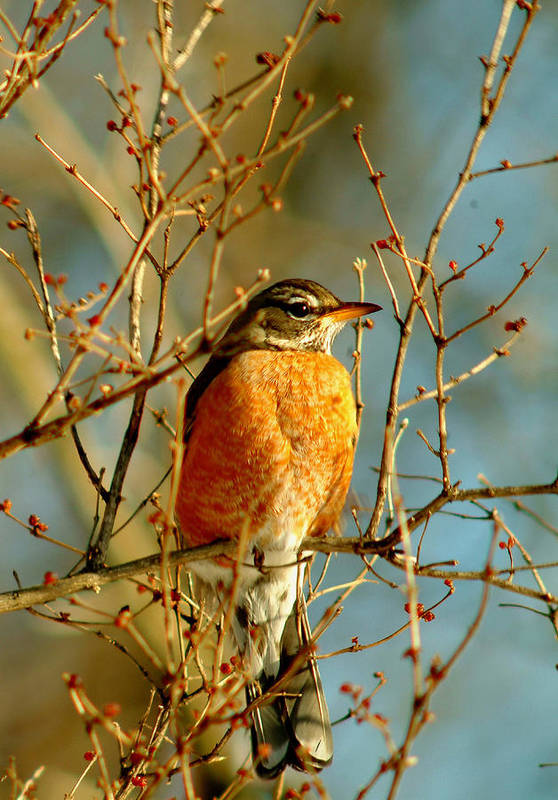 Robin Art Print featuring the photograph 020411-61 by Mike Davis